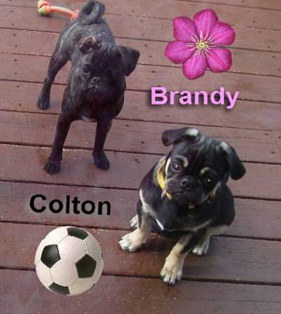 Brindle girl and black & tan boy - Multiple Color Pugs Puppies | Outside of a dog, a book is man's best friend - inside of a dog it's too dark to read.
