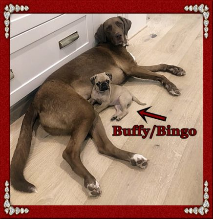 Everybody and everything loves Buffy/Bingo! - Fawn Pug Puppies | Don't accept your dog's admiration as conclusive evidence that you are wonderful.