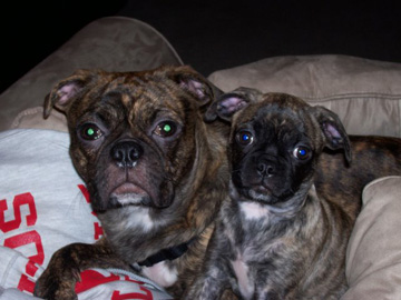 Buggs - Brindle Pug - Puppies and Adults | If you think dogs can't count, try putting three dog biscuits in your pocket and give him only two of them.