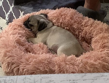 Callie/YoYo in one of her plush beds - Fawn Pug Puppies | Dogs feel very strongly that they should always go with you in the car, in case the need should arise for them to bark violently at nothing, right in your ear.
