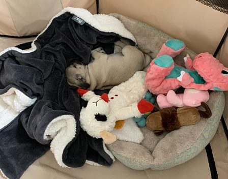 Callie/YoYo wants to know if you have this many toys? - Fawn Pug Puppies | My goal in life is to be as good of a person my dog already thinks I am.