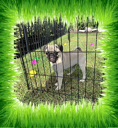 It's a beautiful morning!  I think I'll go outside for a while! - Fawn Pug Puppies | Old dogs, like old shoes, are comfortable. They might be a bit out of shape and a little worn around the edges, but they fit well.