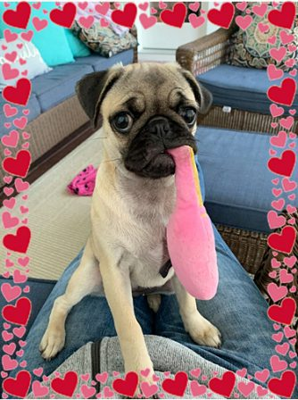 Callie/YoYo says her mom cannot take enough photos! - Fawn Pug Puppies | If dogs could talk, perhaps we would find it as hard to get along with them as we do with people.