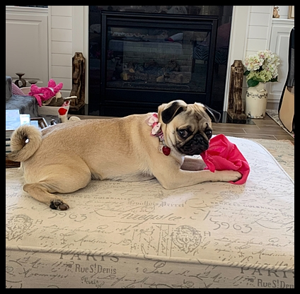 That's all for now, folks!  I will be back.  Love YoYo - Fawn Pug Puppies | Old dogs, like old shoes, are comfortable. They might be a bit out of shape and a little worn around the edges, but they fit well.