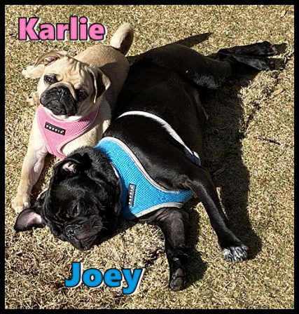 Dixie's Karlie and Snow's Calvin/Joey - Multiple Color Pugs - Puppies and Adults | No matter how little money and how few possessions you own, having a dog makes you rich.