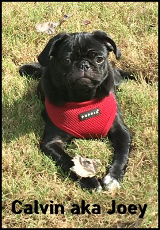 Snow White's Calvin aka Joey - Black Pug Puppies | If you think dogs can't count, try putting three dog biscuits in your pocket and give him only two of them.