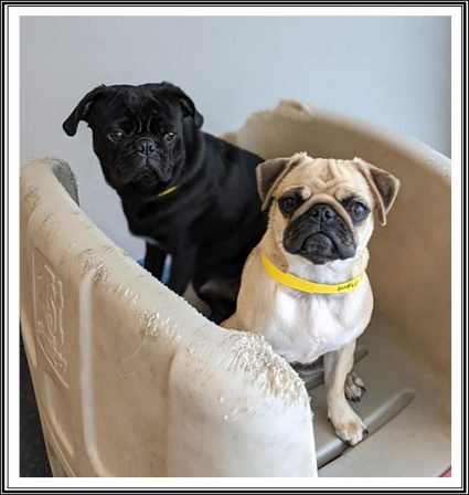 Hmm . . . wonder what Joey is thinking? - Multiple Color Pugs - Puppies and Adults | Don't accept your dog's admiration as conclusive evidence that you are wonderful.