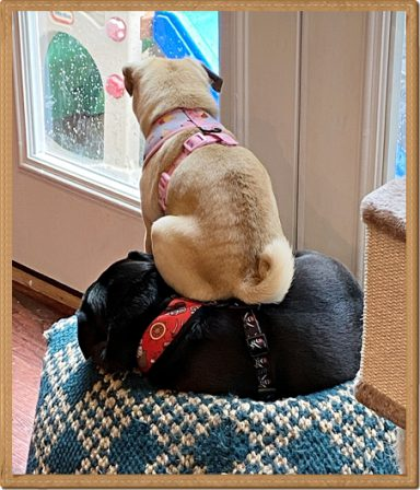 Karlie is using Joey as a booster seat to see outside - Multiple Color Pugs - Puppies and Adults | Once you have had a wonderful dog, a life without one is a life diminished.