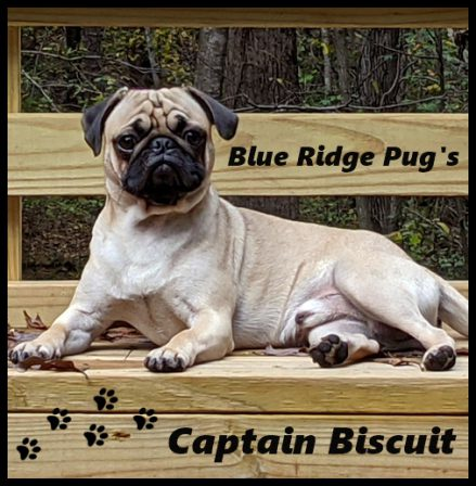 This gorgeous male is out of Dixie and Aiken - Adult Fawn Pug | Did you ever walk into a room and forget why you walked in? I think that is how dogs spend their lives.