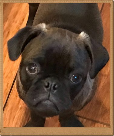 Cocoa's and Sterling's Carlton - Silver Pug Puppies | The dog was created specially for children. He is the god of frolic.