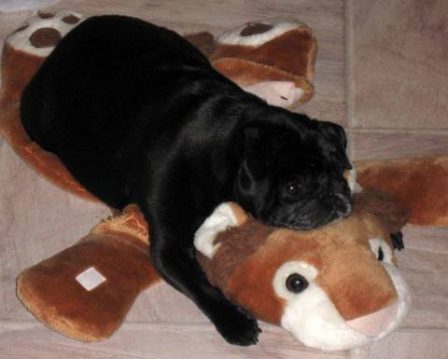 Chillin' - Adult Black Pug | Do not make the mistake of treating your dogs like humans or they will treat you like dogs.