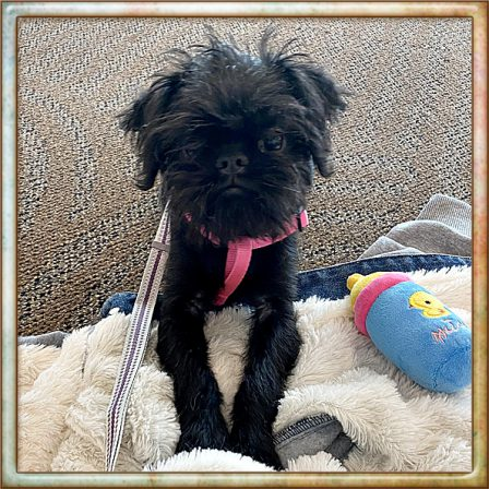 This is Caysee's new Brussels Griffon.  Isn't she adorable? - Black Pug Puppies | Such short lives our dogs have to spend with us, and they spend most of it waiting for us to come home each day.