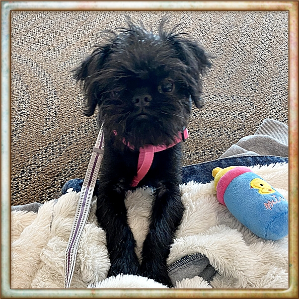 This is Caysee's new Brussels Griffon.  Isn't she adorable?