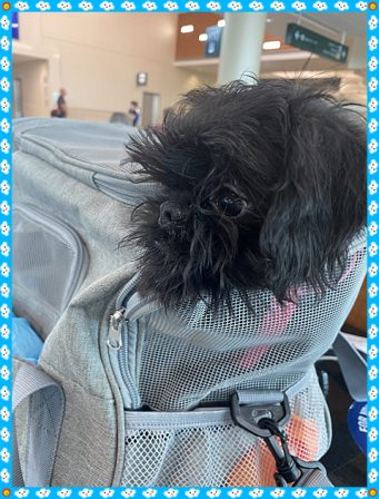Here she is coming in with her flight nanny - Black Pug Puppies | Petting, scratching, and cuddling a dog could be as soothing to the mind and heart as deep meditation and almost as good for the soul as prayer.