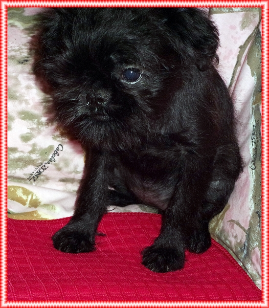 Did you know the Brussels Griffon is 1/3 pug?