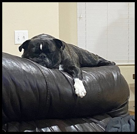Is this a couch pugtato? - Adult Brindle Pug | The dog was created specially for children. He is the god of frolic.