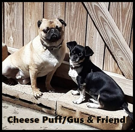 Ebony's & Mu's Cheese Puff aka Gus at 2 years old - Adult Apricot Pug | If dogs could talk, perhaps we would find it as hard to get along with them as we do with people.