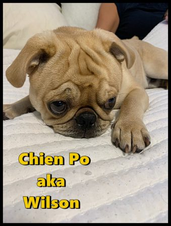 Puddin's/Aiken's very handsome Chien Po/Wilson - Apricot Pug Puppies | Outside of a dog, a book is man's best friend - inside of a dog it's too dark to read.