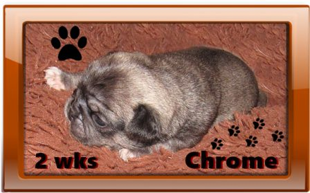 Chrome is so handsome BRP may have to keep him! - Silver Pug Puppies | If you don't own a dog, at least one, there is not necessarily anything wrong with you, but there may be something wrong with your life.