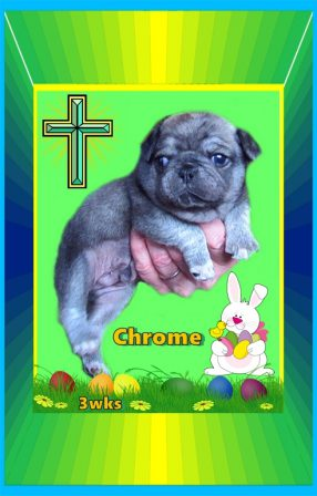 Happy 2020 Easter from Chrome - Silver Pug Puppies | Don't accept your dog's admiration as conclusive evidence that you are wonderful.