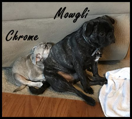Bella's Chrome with his BFF Mowgli - Multiple Color Pugs - Puppies and Adults | Such short lives our dogs have to spend with us, and they spend most of it waiting for us to come home each day.