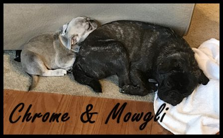 Mowgli finally tuckered out, too! - Multiple Color Pugs - Puppies and Adults | The dog is a gentleman; I hope to go to his heaven not man's.