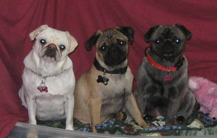 Blue Ridge Pug's Snow White, Mufasa, and Cinderella - Multiple Color Pugs - Puppies and Adults | Outside of a dog, a book is man's best friend - inside of a dog it's too dark to read.