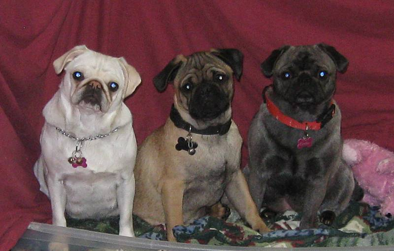 Blue Ridge Pug's Snow White, Mufasa, and Cinderella