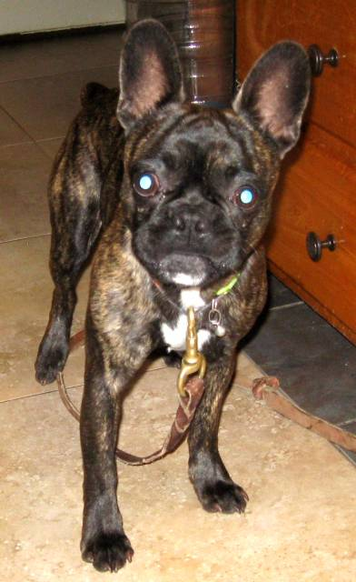 My names is Denver and I am a brindle Frug