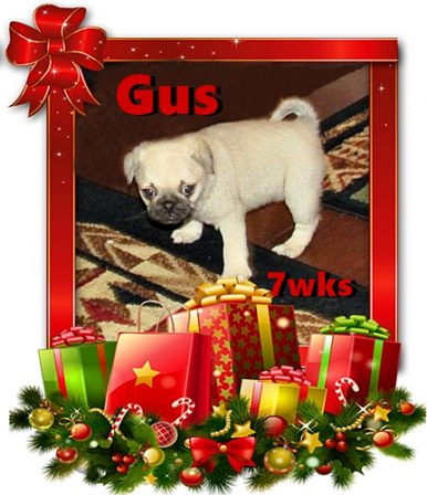 Merry 2020 Christmas from Cinder's Craig/Gus - Fawn Pug Puppies | No one appreciates the very special genius of your conversation as the dog does.