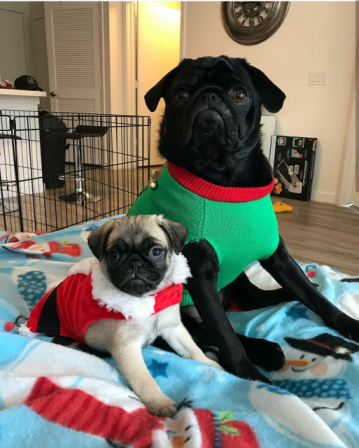 Merry Christmas from Dunkin and Rex! - Multiple Color Pugs - Puppies and Adults | The dog is a gentleman; I hope to go to his heaven not man's.