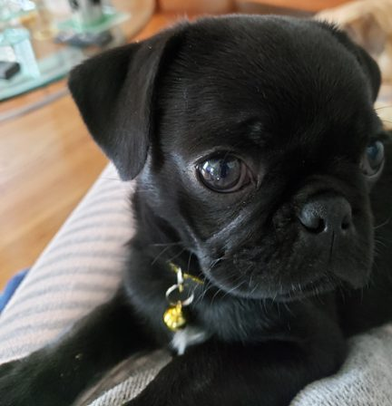 Lady Blue's Cynthia/Emmy Lou - Black Pug Puppies | Whoever said you can't buy happiness forgot little puppies.