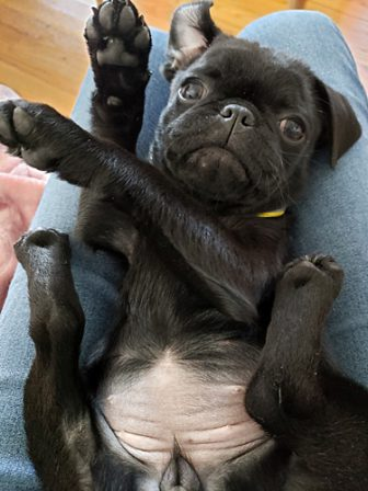 Anyone for break dancing? - Black Pug Puppies | A dog is one of the remaining reasons why some people can be persuaded to go for a walk.