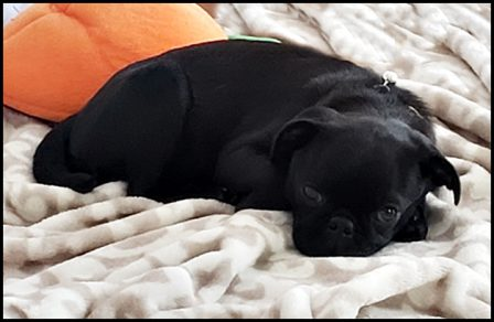 Gayle loves her sweet Emmy Lou - Black Pug Puppies | I've seen a look in dogs' eyes, a quickly vanishing look of amazed contempt, and I am convinced that basically dogs think humans are nuts.