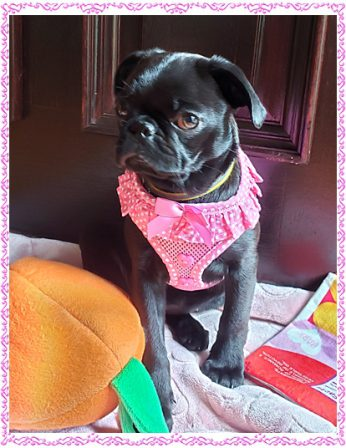 Lady Blue's Cynthia/Emmy Lou in a more respectable pose - Black Pug Puppies | The average dog is a nicer person than the average person.