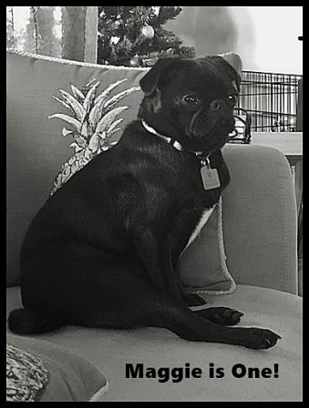 Dakota/Maggie at One Year Old - Adult Black Pug | No one appreciates the very special genius of your conversation as the dog does.