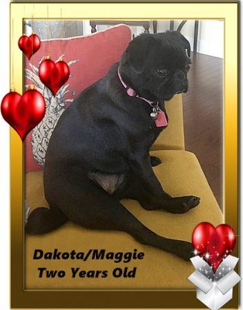 Dakota/Maggie at Two Years Old - Adult Black Pug | Outside of a dog, a book is man's best friend - inside of a dog it's too dark to read.