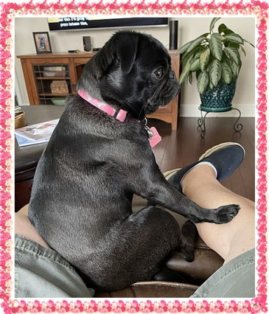 Steve and Dale's pampered princess - Adult Black Pug | Once you have had a wonderful dog, a life without one is a life diminished.
