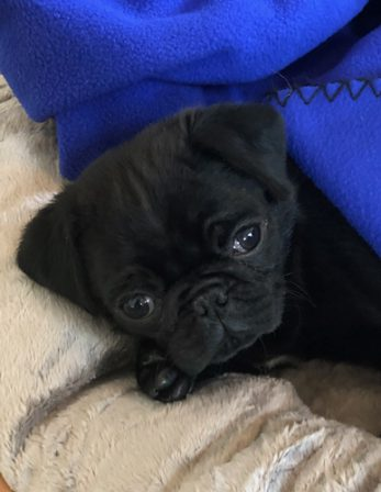 Dakota/Maggie making herself comfortable in her new home - Black Pug Puppies | If you think dogs can't count, try putting three dog biscuits in your pocket and give him only two of them.