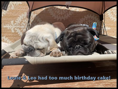 All that food and fun calls for a nap! - Adult Multiple Color Pugs | Once you have had a wonderful dog, a life without one is a life diminished.