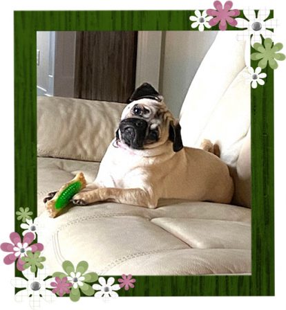 """Delanie/Bella """"the famous head tilt"""" - Adult Fawn Pug 