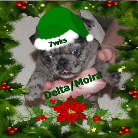 Merry 2020 Christmas from Cinder's merle girl - Merle Pug Puppies | To sit with a dog on a hillside on a glorious afternoon is to be back in Eden.