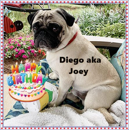 Nala's beautiful boy Joey is now two! - Adult Fawn Pug | Don't accept your dog's admiration as conclusive evidence that you are wonderful.