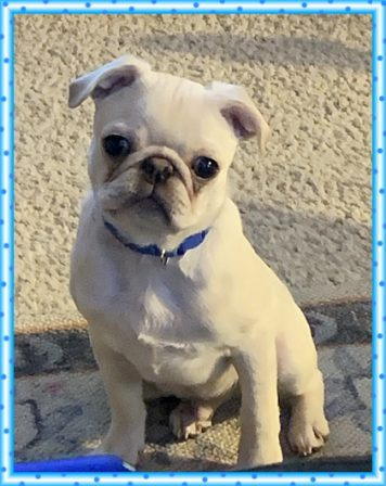 Lucy's & Zeus' Donald/Fergus is as cute as a button - White Pug Puppies | No one appreciates the very special genius of your conversation as the dog does.
