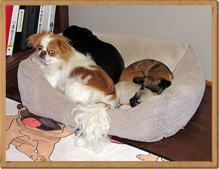 Japanese Chin, Black Pug, Red Griff, Fawn Pug - Multiple Color Pugs - Puppies and Adults | Money will buy you a pretty good dog, but it won't buy the wag of his tail.