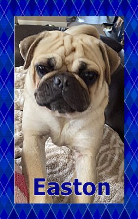 One of Bai-Lei's Beautiful Boys - Adult Fawn Pug | If you think dogs can't count, try putting three dog biscuits in your pocket and give him only two of them.