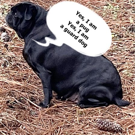 I AM a guard dog!  Pugs have teeth, too, ya' know! - Adult Black Pug | Dogs love their friends and bite their enemies, quite unlike people, who are incapable of pure love and always mix love and hate.