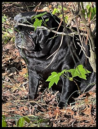BRP's retired breeder now living with The Keener's - Adult Black Pug | Don't accept your dog's admiration as conclusive evidence that you are wonderful.