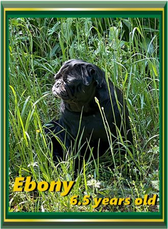 Ebony has retired and is in pug heaven with Kim and Forest. - Adult Black Pug | A dog will teach you unconditional love, if you can have that in your life, things won't be too bad.