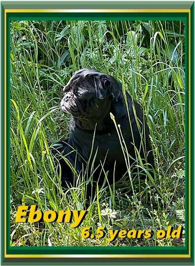 Ebony has retired and is in pug heaven with Kim and Forest.